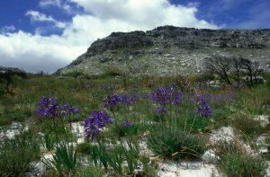 Fynbos, flora, indigenous, cape recife, nature reserve, port elizabeth, south africa, pine lodge, resort, conference centre, conservancy, plant sale